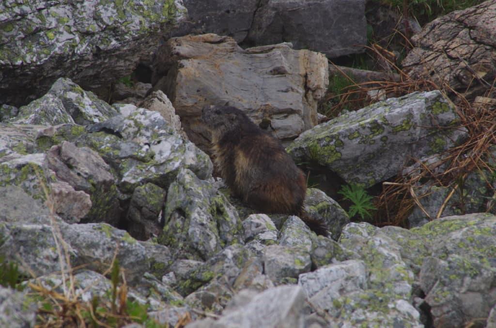Le col du Galibier marmotte
