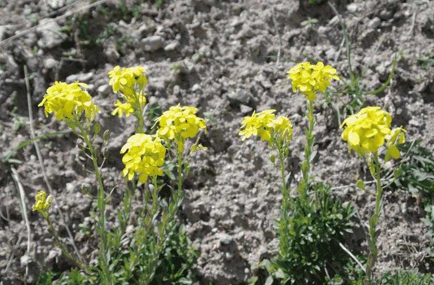 Alyssoides utriculata GRECE