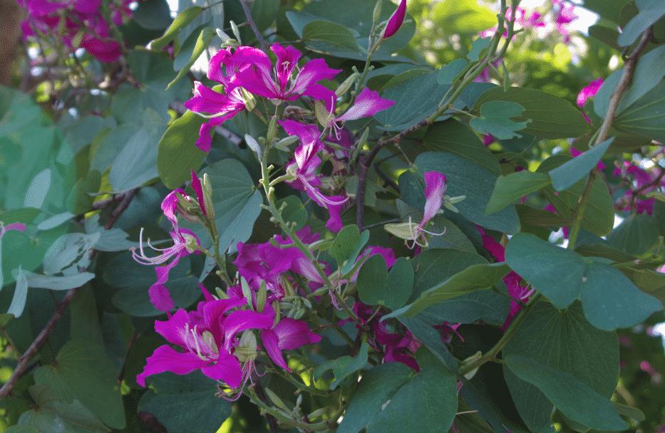 la flore en Asie Bauhinia purpurea