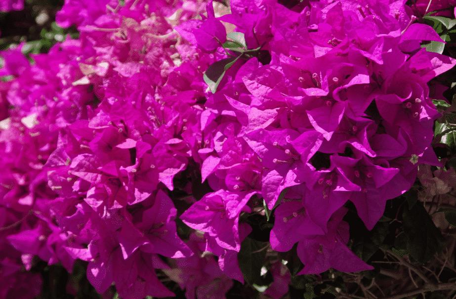la flore en Asie Bougainvillea spectabilis BRESI