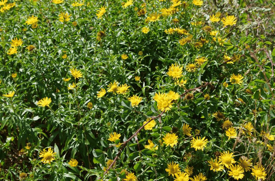 la flore en Europe Buphtalme à feuilles de saule