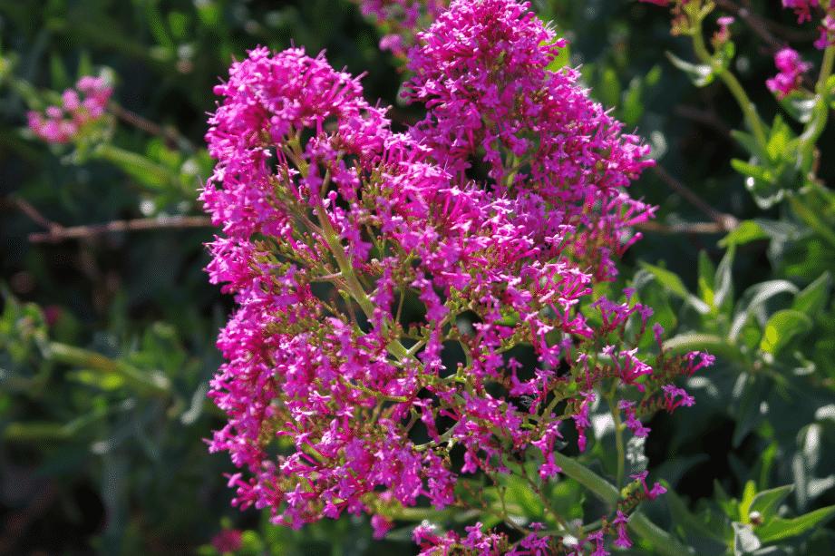 Centranthus ruber ESPAGNE