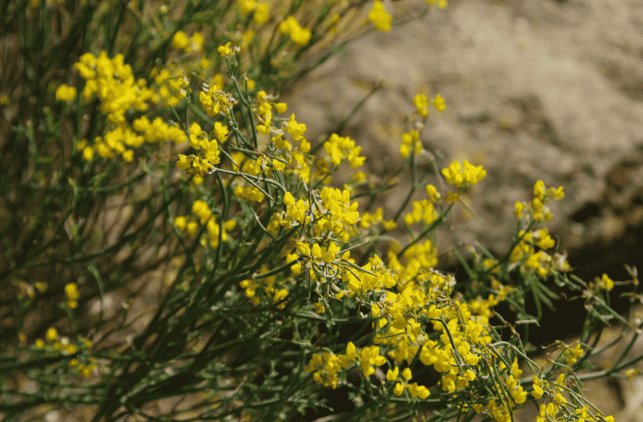 Coronilla juncea ALPES