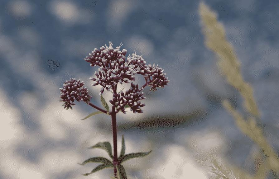 Eupatoire à feuilles de chanvre