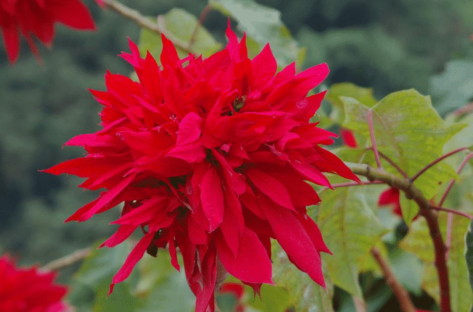 Euphorbia pulcherrima MEXIQUE