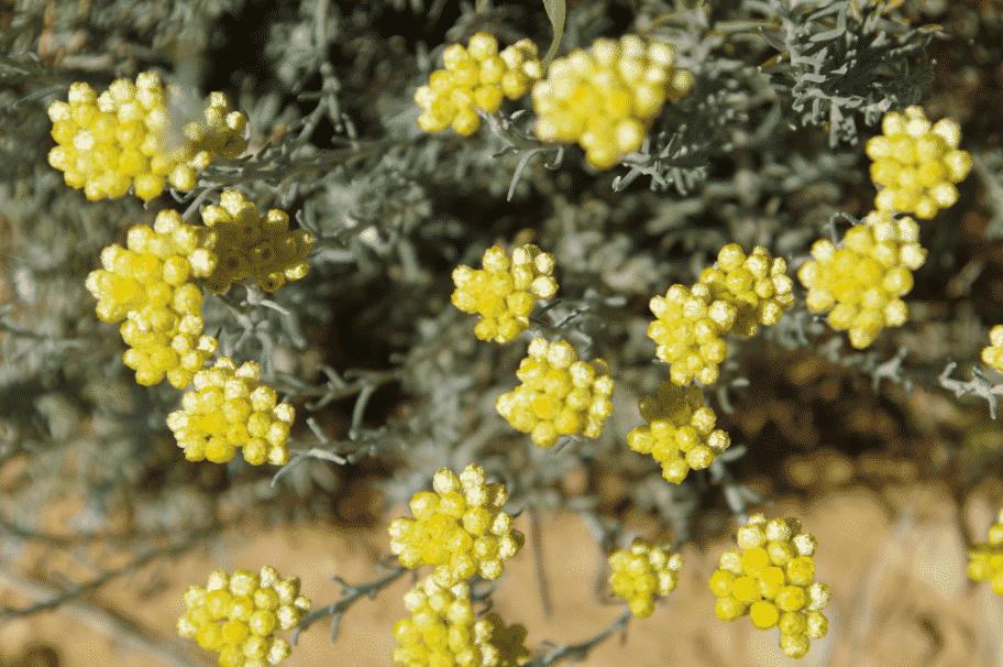 Helichrysum stoechas COTE D'AZUR