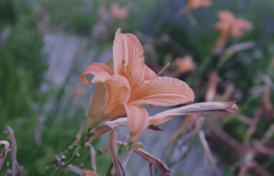 Hemerocallis, Lis d'un jour à Gresse en Vercors