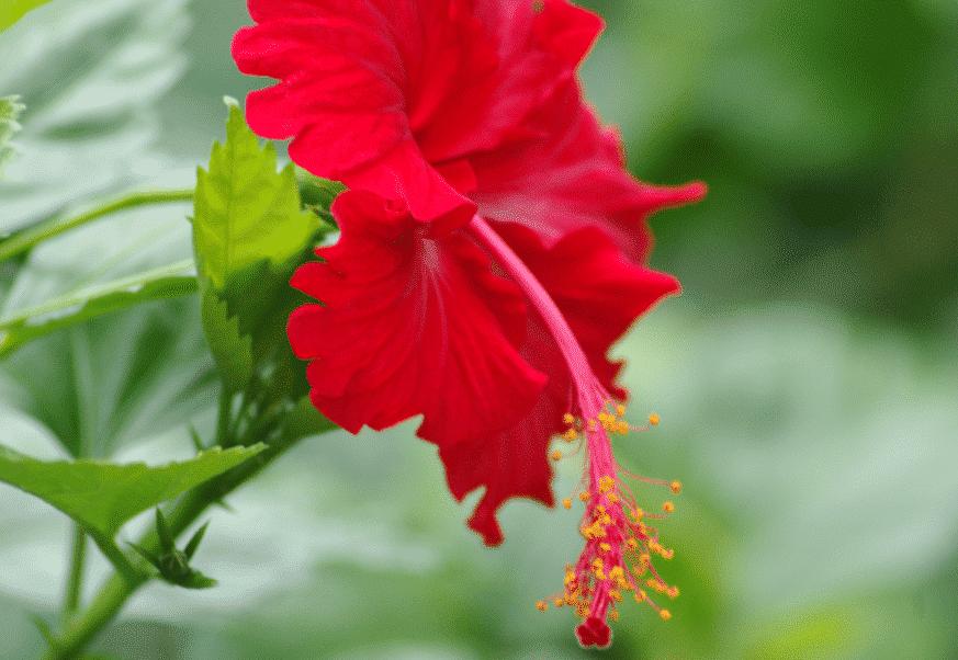 Hibiscus rosa-sinensis CHINE