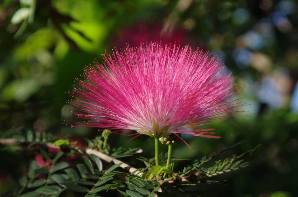 la flore en Asie Albizia julibrissin