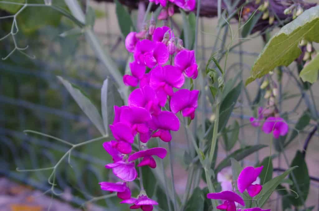 la flore en Europe Lathyrus latifolius