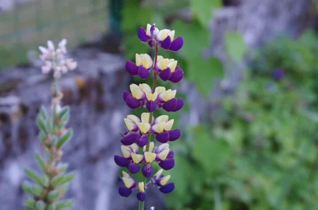 la flore en Europe Lupinus arboreus Sims