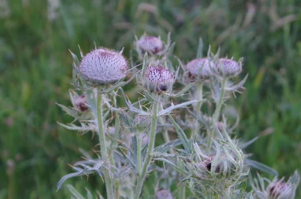 la flore en Europe Cirsium eriophorum