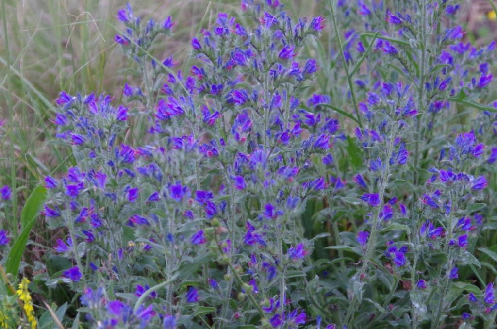 la flore en Europe Epilobium angustifolium