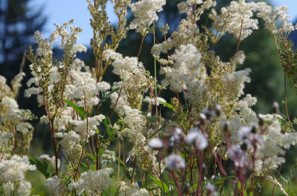 la flore en Europe Filipendula ulmaria