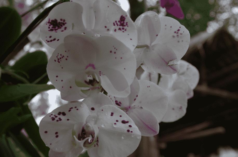 Phalaenopsis spp THAILANDE 2015