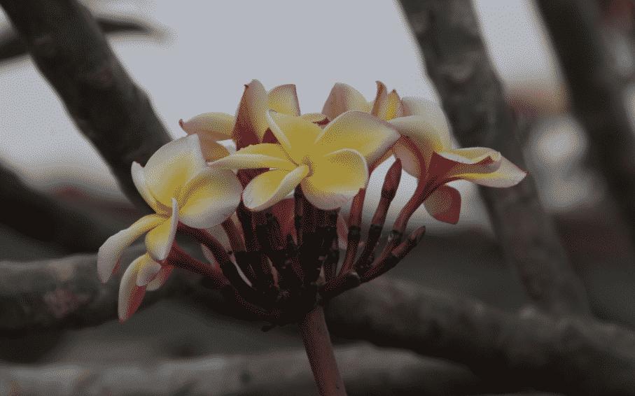 Plumeria rubra MEXIQUE
