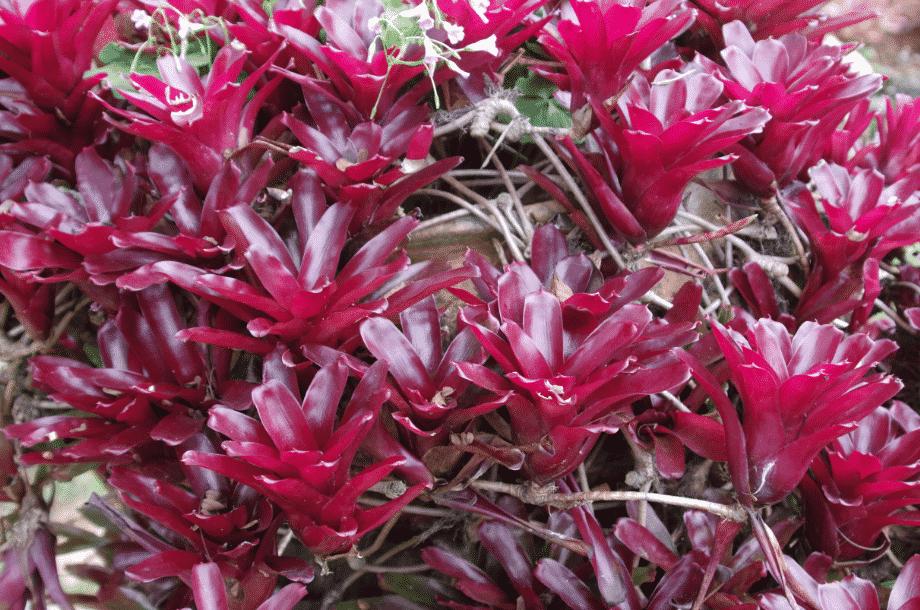 la flore en Europe Sempervivum arachnoideum