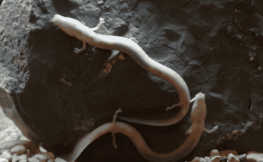 salamandre aveugle