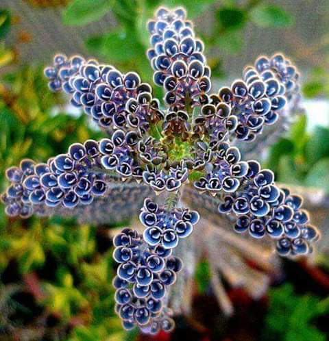 Kalanchoe Tubiflora Madagascar