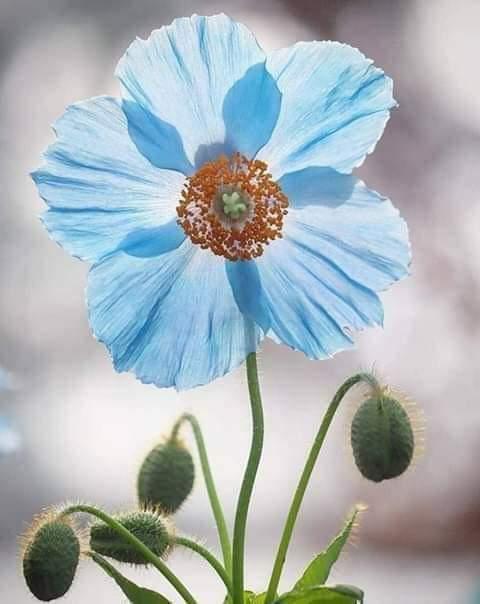 Pavot bleu d'Himalaya