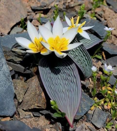 TULIPA regilii ( tulipe plissée )
