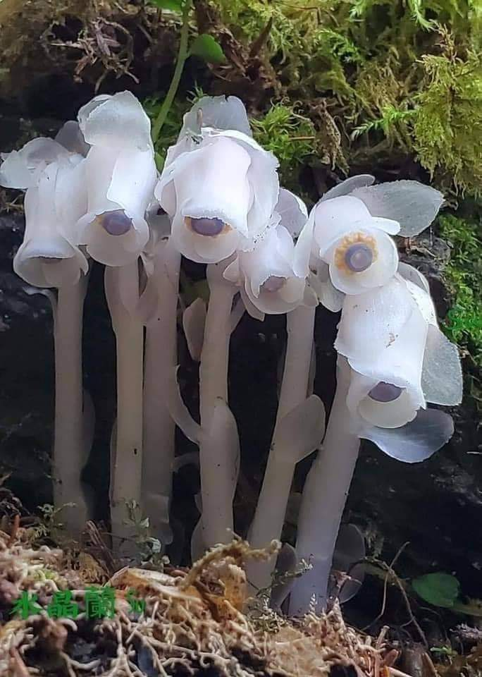 Pipe indienne, ( Monotropa Uniflora )