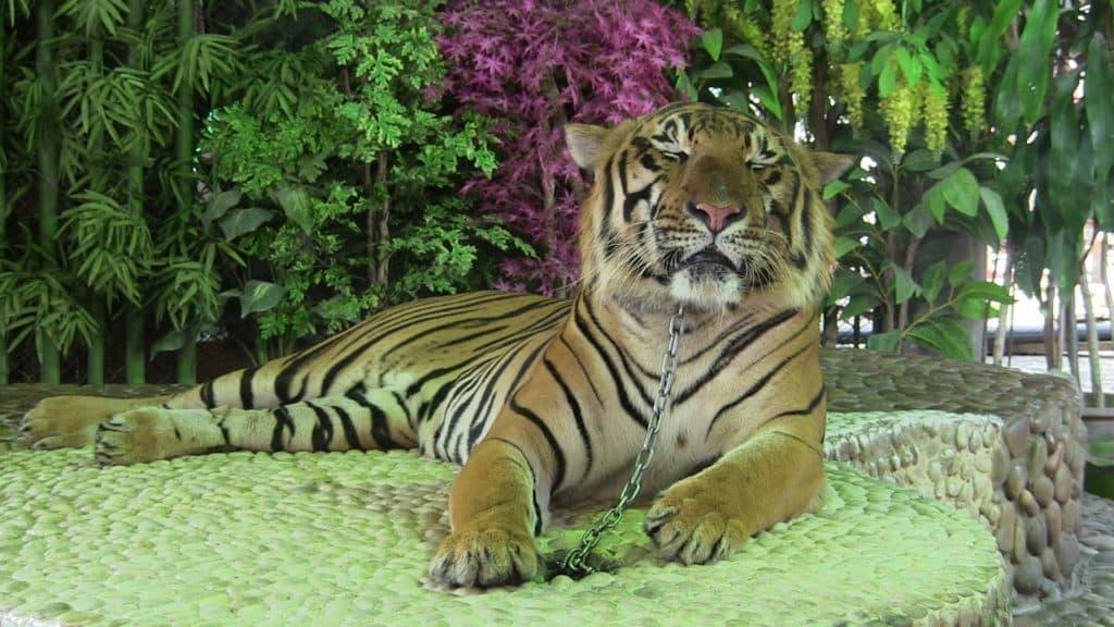 halte au tourisme animalier les photos avec les tigres.