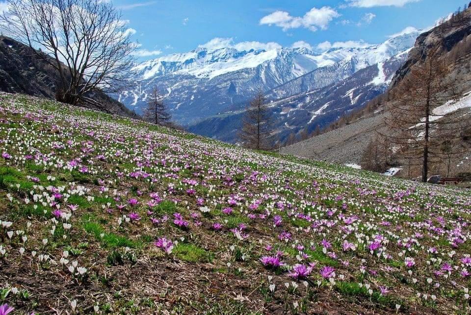 Fleurs dans les Alpes